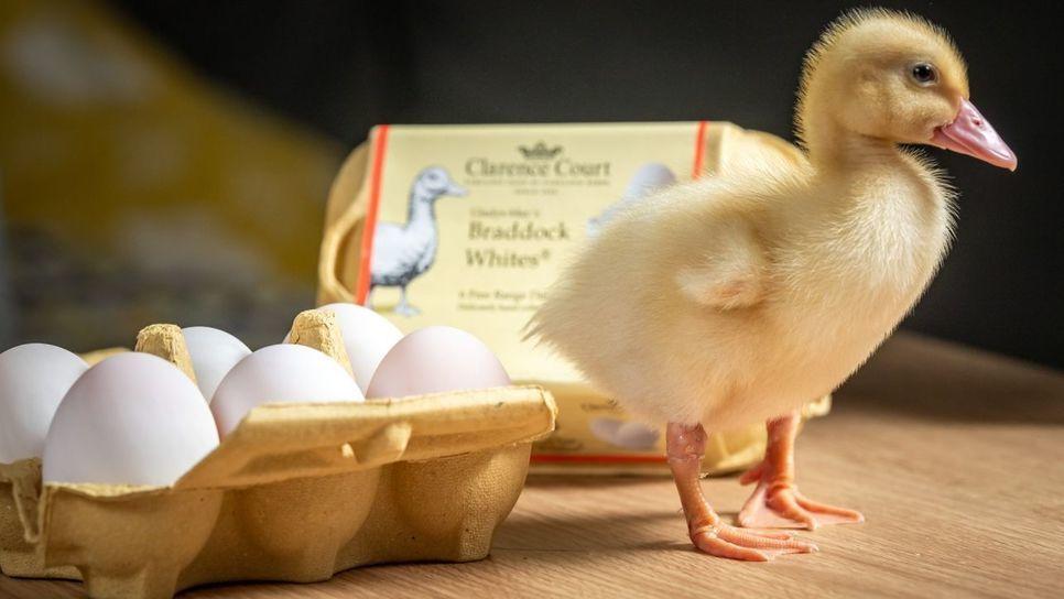 Από μια εξάδα αυγών που αγόρασε βγήκε ένα παπάκι